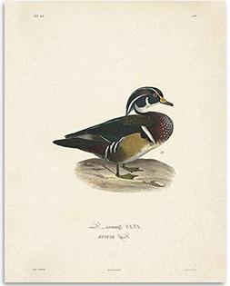 Anas Sponsa Duck Illustration - 11x14 Unframed Art Print - G